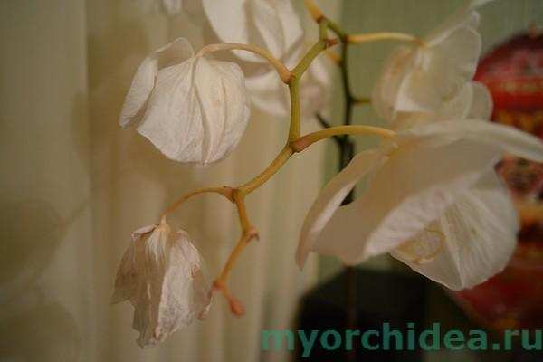 Почему сохнут у орхидеи цветы