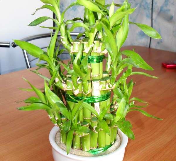 горшок с драценой бамбуковой