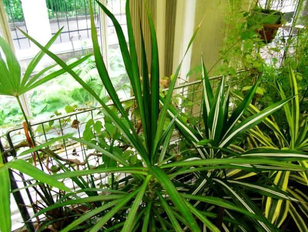 Разные виды растения драцена