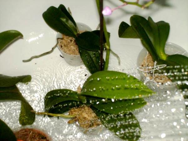 душ для орхидей