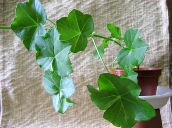 листы ампельной пеларгонии
