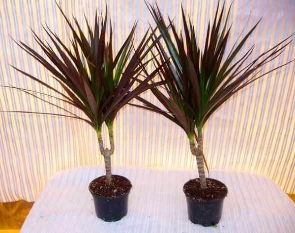 драцена-пальма