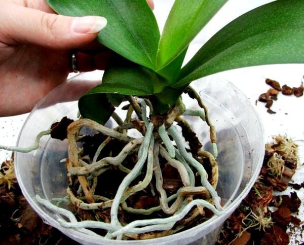 пересадка орхидеи в вегетационный период