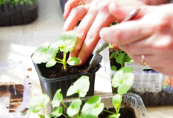 пересадка ростков герани в горшки