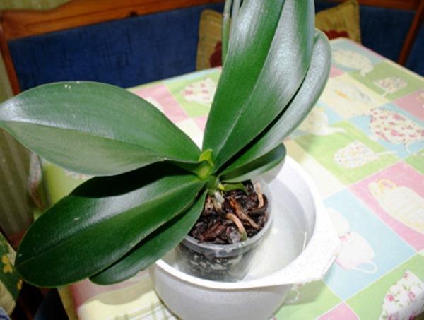 орхидея Фленопсис полив