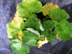 Почему пропадает герань желтеют листья зимой