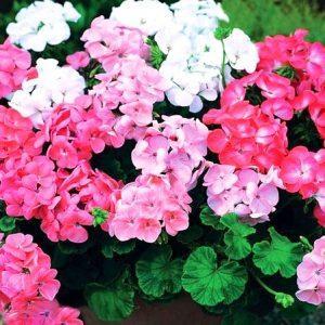 Фото цветков зональной герани