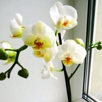 Фленопсис белый фото