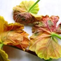 у герани сохнут листья