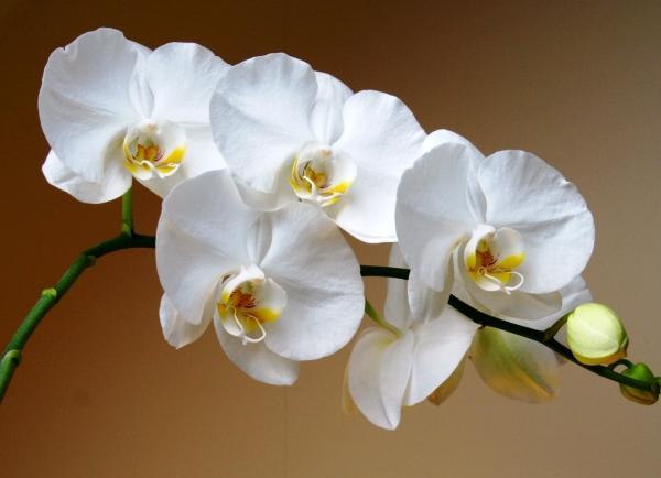 белый фаленопсис фото