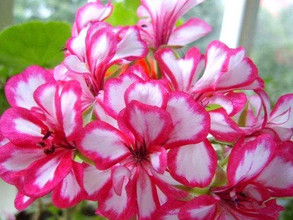 цветение герани ампельной