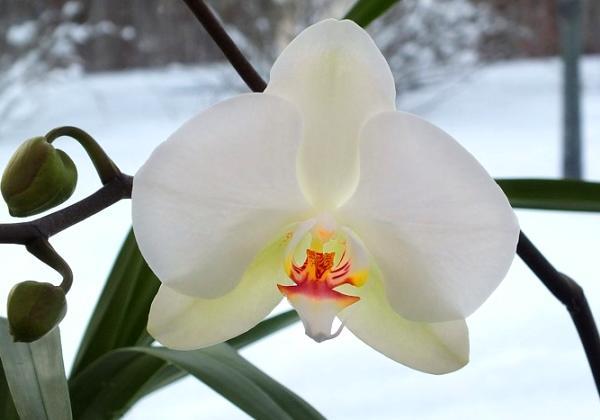 орхидея цветет зимой