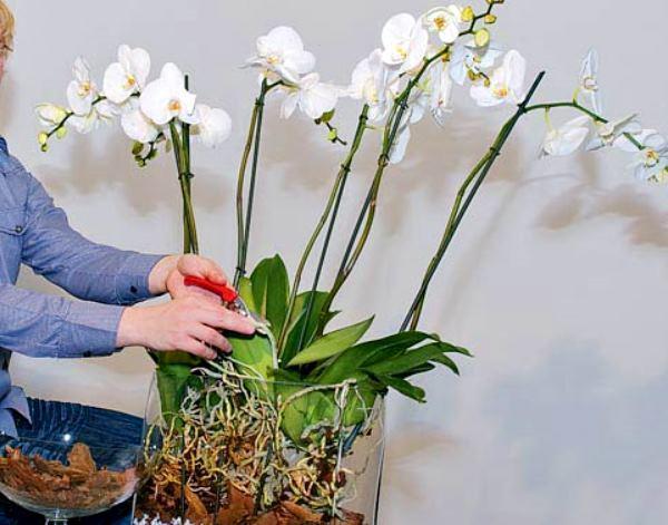 выращивание орхидеи Фаленопсис