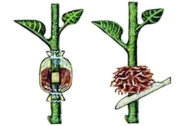 Размножение растения воздушными отводками