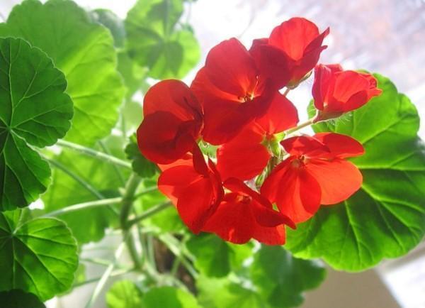 герань цветет