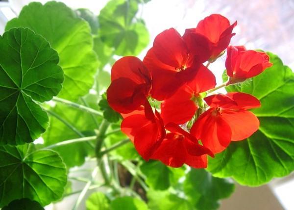цветки комнатной герани