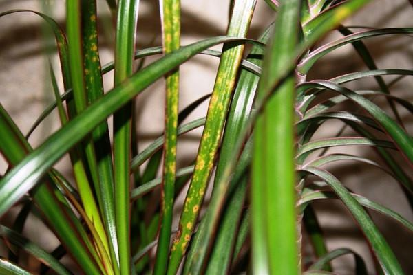 Драцена с пятнами на листах