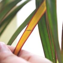 Желтеет лист у драцены маргината