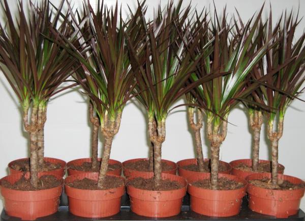 Молодые растения драцены Магината