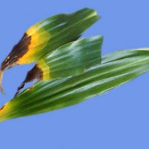 Болезнь на листьях драцены