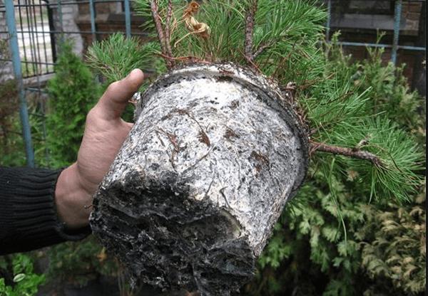 Фото последствий корневого мучнистого червеца