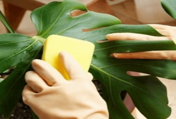 Обработка растения мыльным раствором