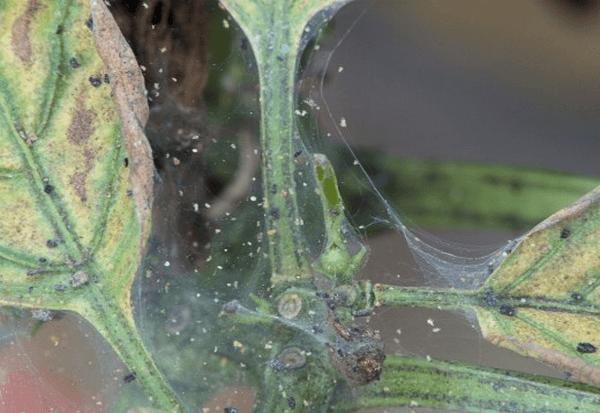 Яйца паутинного клеща на паутине