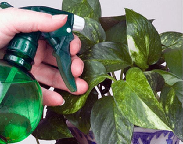 Опрыскивание комнатного растения из пульверизатора