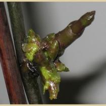 Цитокининовая паста-для размножения орхидей