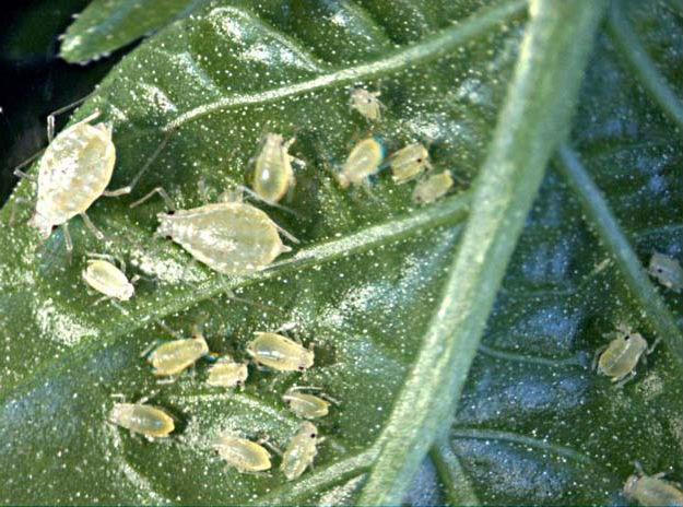 Тля на листке растения