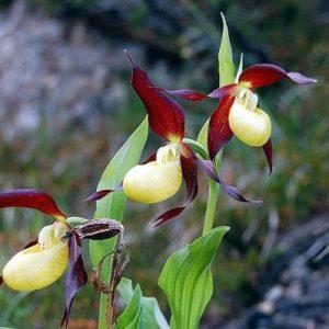 Орхидея пафиопедилум (венерин башмачок)