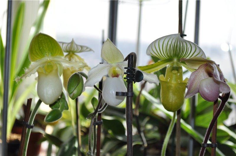 Орхидея вида венерин башмачок