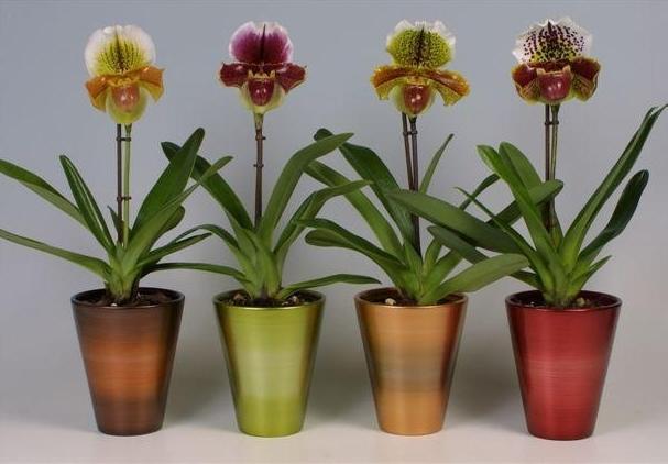 Орхидеи пафиопедилум в горшках