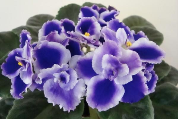 Заставить цветок зацвести можно, пересадив в боле рыхлый грунт и переставив ближе к яркому свету.