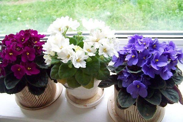 Какова родина растения фиалки?