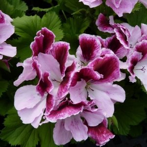 Фото цветущей герани (пеларгонии)