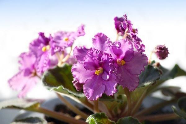 Фото сенполии во время цветения