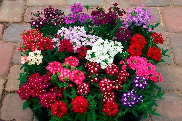 Герань разных цветов в вазоне
