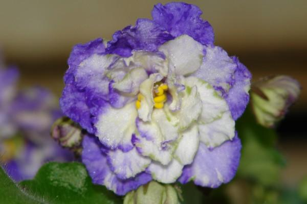 Сине-белая фиалка во время цветения