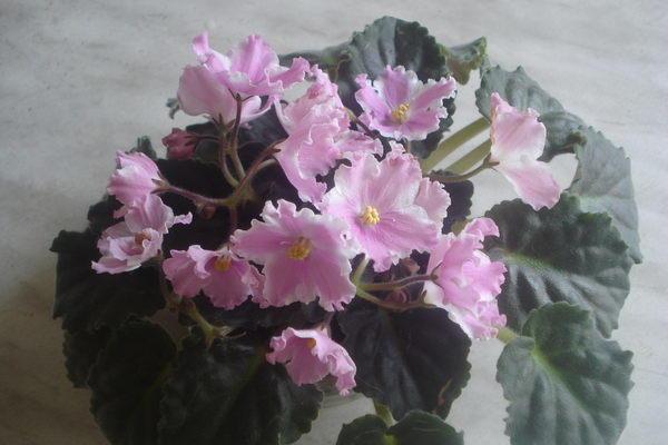 Фото розовой узамбарской сенполии