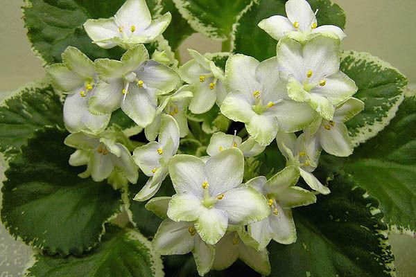 Узамбарская сенполия белого цвета
