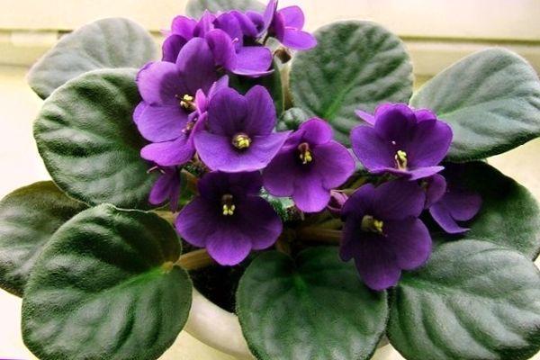 Фиалка с цветами фиолетового цвета