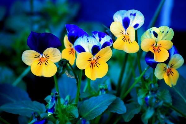Желто-синие Анютины глазки