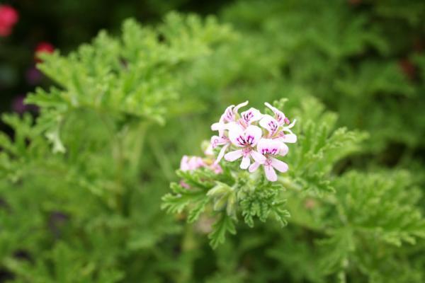 Цветок пеларгонии (герани) курчавой