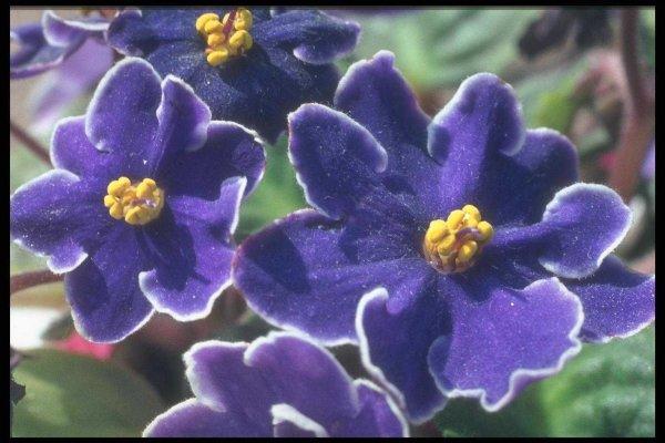Фото синей сенполии (фиалки)