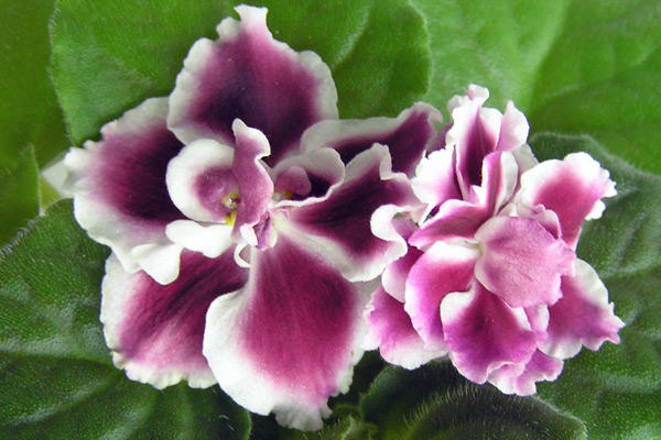 Цветок фиалки сорта Морозная вишня