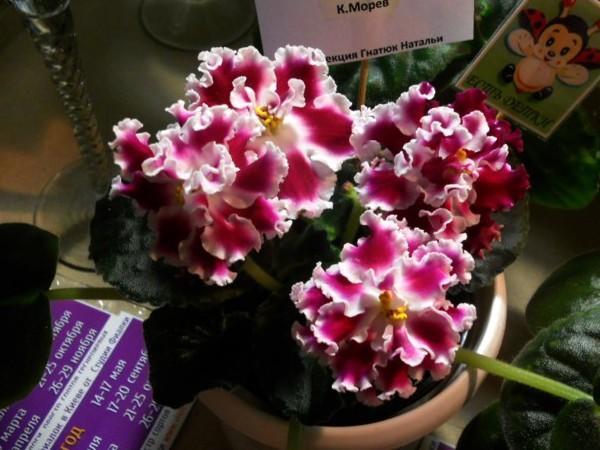 Цветет Амадеус очень часто и обильно