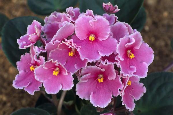Комнатная сенполия розового цвета