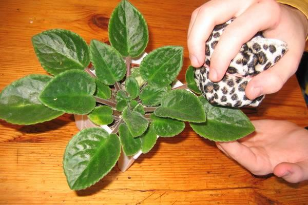 Важно вытирать пыль с листков фиалки