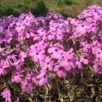 Фото диких розовых Надрезанных фиалок
